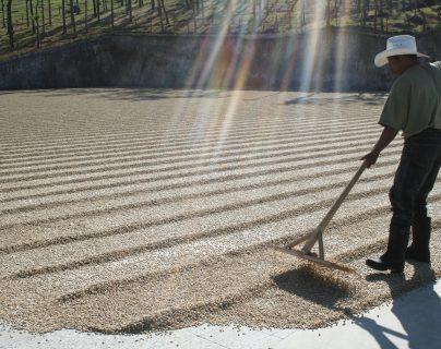 Cómo pueden aprovechar los cafetaleros guatemaltecos la sequía de oferta en Brasil