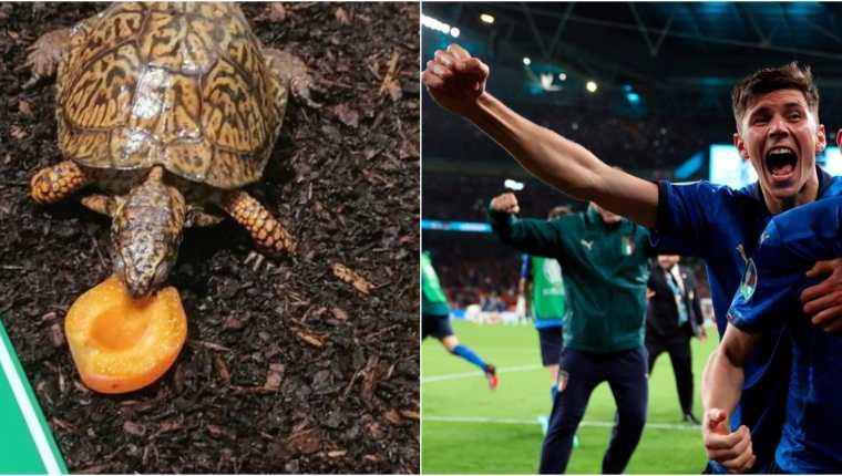 La tortuga austriaca Sigmund, convertida en el gran oráculo de la Eurocopa de su país, pronosticó este viernes 9 de julio la victoria de Italia ante Inglaterra en la final de la Euro 2020 en  Wembley el domingo 11. Foto Prensa Libre: EFE