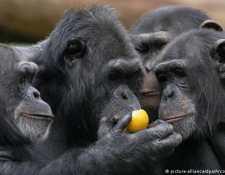 Un grupo de chimpancés. (picture-alliance/dpa/Arco Images/C. Huetter)