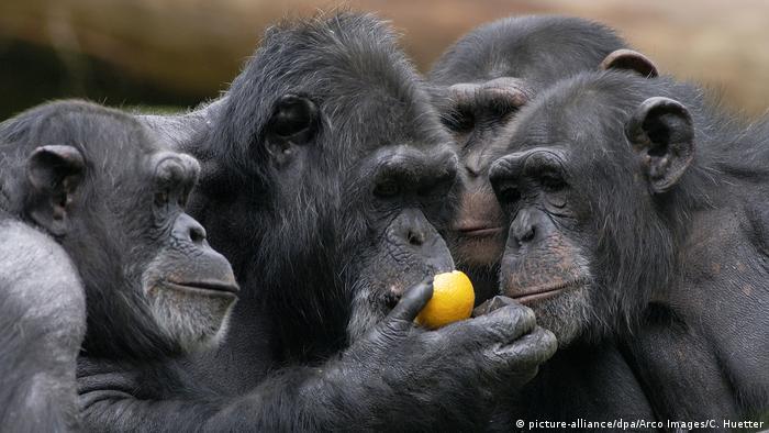 Igual que los humanos: los simios se saludan y se despiden durante sus interacciones