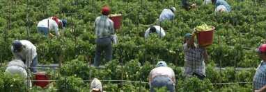 Miles de trabajadores centroamericanos trabajan en los campos en Canadá y México. (Foto: Hemeroteca PL)