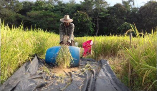 Productores de arroz consideran que tienen mayor certeza laboral al restituirse la compra de cosecha nacional de arroz con cáscara. (Foto Prensa Libre: Icta)
