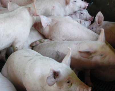 Guatemala emite alerta para evitar ingreso de peste porcina africana