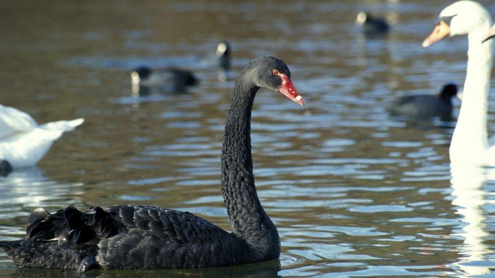"""Por qué a los eventos inesperados se los llama """"cisnes negros"""" y cómo la ciencia está trabajando para predecirlos"""