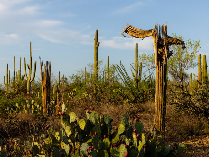 Incendios forestales amenazan a icónicos saguaros en Arizona