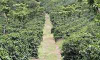 Las condiciones climáticas favorecieron a Guatemala en la cosecha de café 2020-21 para la exportación, según Anacafé. (Foto Prensa Libre: Cortesía)