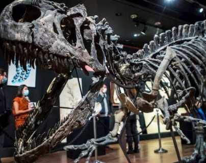 El dinosaurio tenía alrededor de 26 pies de largo y pesaba aproximadamente casi una tonelada. (Foto Prensa Libre: EFE)