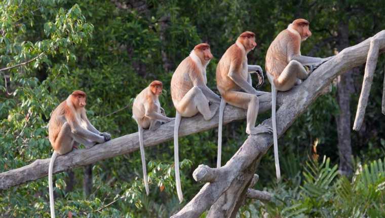 Los simios tienen cola, a diferencia de los humanos y los grandes simios.
