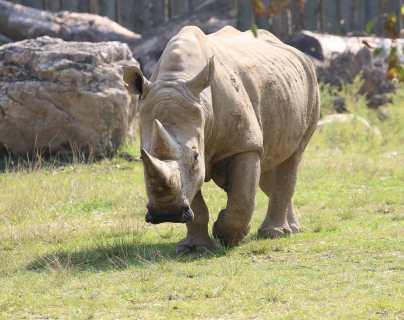 Fallece Toby, el rinoceronte blanco más viejo del mundo; será embalsamado y exhibido en museo