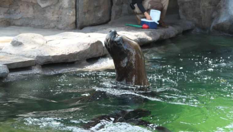 Leones marinos son los nuevos huéspedes del Zoológico La Aurora. (Foto Prensa Libre: María José Bonilla)